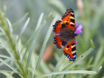 Butterfly. Fresh, green grass and butterfly Royalty Free Stock Images