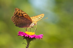 Butterfly fritillary great forest lat. Argynnis paphia is a day butterfly from the family nymphalidae Nymphalidae on a pink As Royalty Free Stock Images
