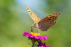 Butterfly fritillary large forest or Paphia fritillary lat. Argynnis paphia is a day butterfly from the family nymphalidae Nymp Royalty Free Stock Photo