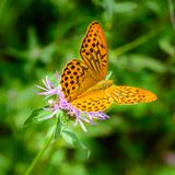 Butterfly fritillary with open orange wings with dots dotted on. A flower stock images