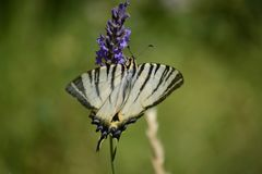 Blac-white butterfly Butterfly on lavender Stock Image