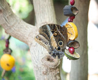 Butterfly fruit. Buttefly lands on fruit in butterfly house in Tennessee. Neutral Colors stock photo