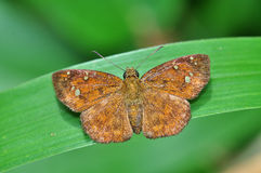 Butterfly (Fulvous Pied Flat). On leaf Royalty Free Stock Photo