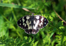 Butterfly galathea melanargia flying above green grass wings. Butterfly galathea melanargia flying above the green grass wings view from up Stock Photography