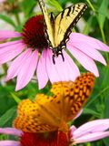 Butterfly Garden. Butterflies basking on pink flowers stock photo