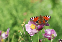Butterfly in the garden Royalty Free Stock Image