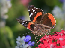 Butterfly garden. A red admiral butterfly enjoys a Missouri butterfly garden in early fall Royalty Free Stock Photo