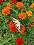 Butterfly in a garden of brightly colored flowers. Stock Photos