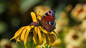 BUTTERFLY IN THE GARDEN. Butterfy on flowers in the garden Stock Images