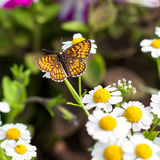 Butterfly in the garden. Butterfly on camomile in the garden Stock Image