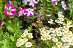 Butterfly in the garden. Butterfly on camomile in the garden Stock Photography