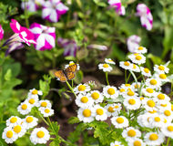 Butterfly in the garden. Butterfly on camomile in the garden Stock Photos