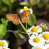 Butterfly in the garden. Butterfly on camomile in the garden Royalty Free Stock Photo