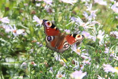 Butterfly in the garden chamomile. Butterfly in the garden flowers Royalty Free Stock Photos