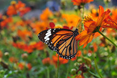 Butterfly on the Garden. Butterfly on the flower garden Stock Image
