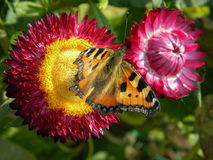 Butterfly on garden flowers. royalty free stock photography