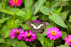 Butterfly in garden and flying to many flowers in garden, Beautiful butterfly in colorful garden or insect farm, Animal or insect Royalty Free Stock Photos