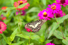 Butterfly in garden and flying to many flowers in garden, Beautiful butterfly in colorful garden or insect farm, Animal or insect Royalty Free Stock Image