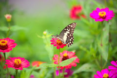 Butterfly in garden and flying to many flowers in garden, Beautiful butterfly in colorful garden or insect farm, Animal or insect