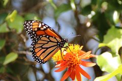 Butterfly in a garden Royalty Free Stock Images