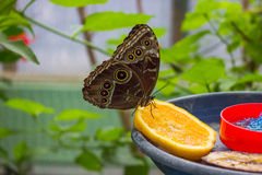 Butterfly in the garden. Sitting on a slice of orange stock photos