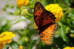 Butterfly in the garden. Butterfly sitting on the yellow flowers in the garden Stock Images