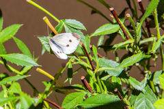 Butterfly in the garden. White butterfly in the garden Stock Image