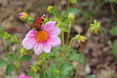 A butterfly is gathering a flower in a park (France) Royalty Free Stock Photography