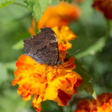Butterfly gathers nectar closeup Stock Image