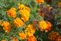 Butterfly gathers nectar from marigold Stock Images