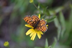 BUTTERFLY GENTLY LAYS ON YELLOW FLOWER royalty free stock photos