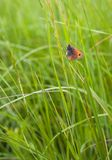 Coenonympha Butterfly hiding in dense grass. A Butterfly of the genus Coenonympha, Nymphalidae, Brush-footed Butterflies, hiding in the dense grass growth of a Stock Photography