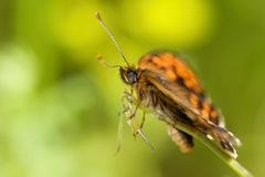 Butterfly genus Issoria. Butterfly genus is Issoria orange color, flies by day Royalty Free Stock Photos