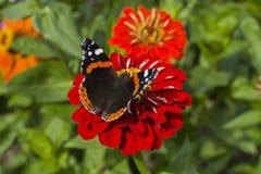 Butterfly at gerber Stock Photos