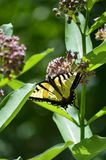 Tiger tail butterfly. Butterfly getting necture from a milkweed flower royalty free stock photo