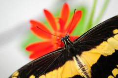 Butterfly, Giant Swallowtail on flower Royalty Free Stock Image