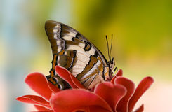 Butterfly on ginger flower. Butterfly tailed emperor, Polyura sempronius, on torch ginger, Etlingera elatior, flower with blurred background Stock Photo