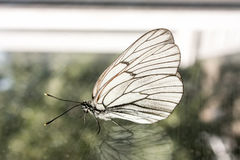 Butterfly on the glass. White cabbage Royalty Free Stock Photography