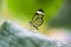 Glasswing butterfly Royalty Free Stock Image
