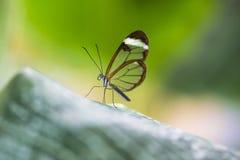 Glasswing butterfly. Greta morgane oto Royalty Free Stock Image
