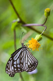 Butterfly - Glassy Tiger. A Glassy Tiger (Parantica aglea / Tirumala limniace) resting on the flower Stock Image