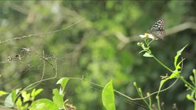 Butterfly glassy tiger perched on a flower in the mointain of Taiwan stock footage