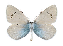 Butterfly Glaucopsyche alexis (male) (underside) Royalty Free Stock Photos