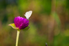 Butterfly on Globe amaranth Royalty Free Stock Photography