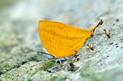 Butterfly (Glorious Begum) Stock Image