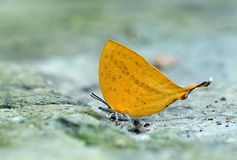 Butterfly (Glorious Begum) , Thailand Royalty Free Stock Images