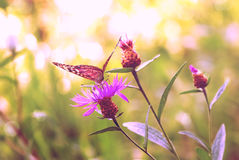 Butterfly in the glow of the setting sun Stock Photos