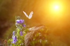 Butterfly glows in the sun at sunset, macro. Wild grass on a meadow in the summer in the rays of the golden sun. Romantic gentle. Golden butterfly glows in the royalty free stock photography