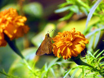 Butterfly. Golden coloured butterfly with closed wings on a merry go round flower with blurred background Royalty Free Stock Photos