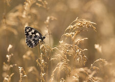 Butterfly in golden grass. Beautiful Marbled White butterfly sitting on the grass Stock Images